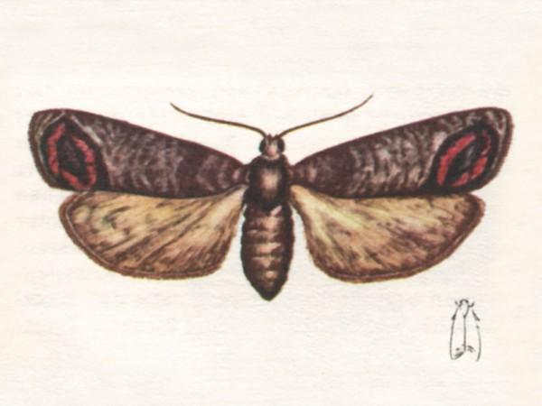 Pheromone zur Anlockung von Schmetterlingen  - im Obstbau Apfelbaumglasflügler